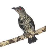 Juvenile Metallic Starling - Aplonis metallica Royalty Free Stock Photos