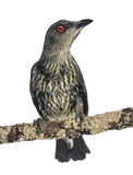 Juvenile Metallic Starling - Aplonis metallica Stock Photo