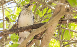 Juvenile Mocking Bird  in the Tree Stock Photos