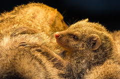 Juvenile Mongoose Stock Photography