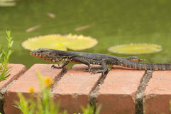 Juvenile Monitor Lizard. Juvenile Malayan  Water Monitor lizard crawling by the pond in the garden Stock Image