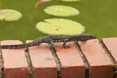 Juvenile Monitor Lizard. Juvenile Malayan  Water Monitor lizard crawling by the pond in the garden Stock Photo