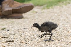 A juvenile moorhen on Southampton Common stock images
