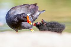 Juvenile Moorhen with parent Gallinula chloropus in summer sun Royalty Free Stock Photography