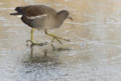 A juvenile moorhen walking on ice Royalty Free Stock Photo