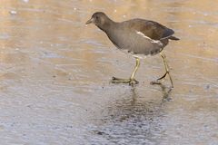 A juvenile moorhen walking on ice stock photo