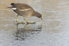 A juvenile moorhen walking on ice stock photography