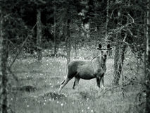 Juvenile Moose in wood Royalty Free Stock Photo