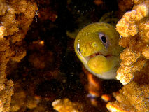 Juvenile Morey eel. Morey eel looking from cave Stock Photos