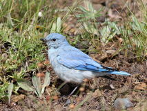 Juvenile Mountain Bluebird Royalty Free Stock Photography