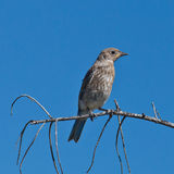 Juvenile Mountain Bluebird Royalty Free Stock Image
