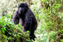 Juvenile mountain gorilla in a tree Royalty Free Stock Photos