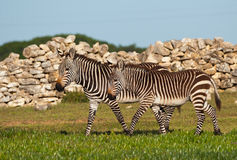Juvenile mountain zebra pair Stock Photos