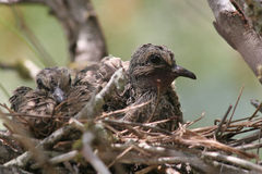 Juvenile mourning doves (Zenaida macroura) Stock Photography