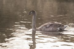 A juvenile mute swan on Southampton Common. A juvenile mute swan on the Boating Lake on Southampton Common royalty free stock photo