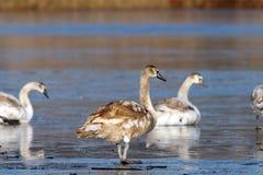 Juvenile mute swan Stock Image