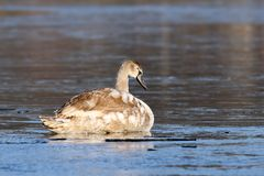 Juvenile mute swan on icy surface Stock Photography