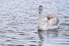 A juvenile swan on Southampton Common stock photography