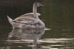 A juvenile mute swan on Southampton Common royalty free stock photography