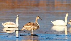 Juvenile mute swan winter image Stock Photos