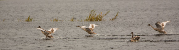 Juvenile Mute Swans in flight Royalty Free Stock Photography
