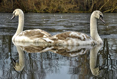 Juvenile Mute Swans Stock Image