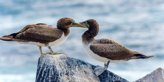 Juvenile Nazca Booby in Galapagos Royalty Free Stock Photography