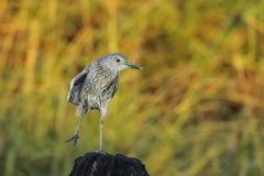 Juvenile  Night Heron Royalty Free Stock Photos