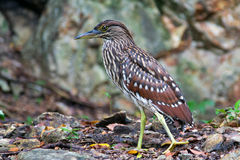 Juvenile Night Heron, Dimakya Island Philippines Stock Photos