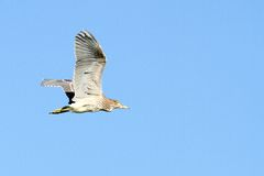 Juvenile night heron in flight Stock Photos