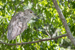 Juvenile Night Heron Stock Photos
