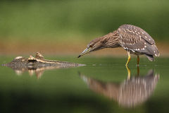 Juvenile Night Heron Stock Photo