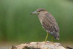 Juvenile Night Heron. The picture was taken in Hungary Stock Image