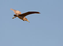 A Juvenile Night Heron preparing to land Stock Photography