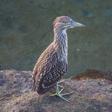 Juvenile night heron Stock Photography