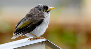 Juvenile Noisy Miner Bird. Miner bird on mail box at Woy Woy, NSW, Australia Royalty Free Stock Photography