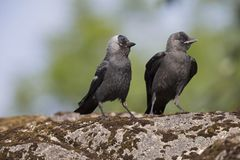 Juvenile Nordic jackdaw coloeus monedula monedula waiting to be fed by adult. The Nordic jackdaw coloeus monedula monedula, perched on a rock, begging for food stock photos