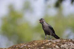 Juvenile Nordic jackdaw coloeus monedula monedula waiting to be fed by adult. The Nordic jackdaw coloeus monedula monedula, perched on a rock, begging for food royalty free stock image