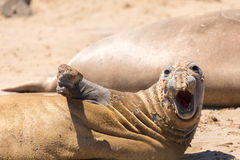 Juvenile Northern Elephant Seal Bull Mirounga angustirostris hawling out during molting season. Stock Images