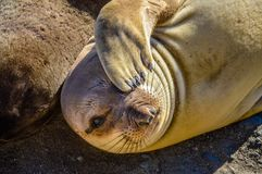 Juvenile Northern Elephant Seal Royalty Free Stock Image