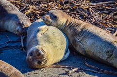 Juvenile Northern Elephant Seals. Two young northern elephant seals in San Simeon, California. Photo taken during pupping season on December 26, 2015 Royalty Free Stock Photography