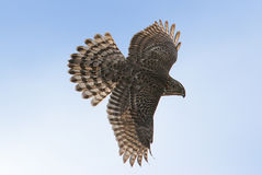 Juvenile Northern Goshawk. Soaring during the fall migration Royalty Free Stock Images