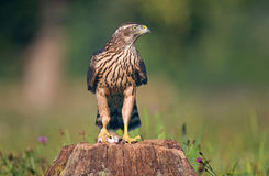 Juvenile northern goshawk Stock Photography