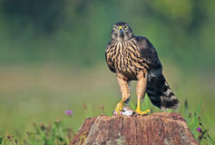 Juvenile northern goshawk with a mouse Royalty Free Stock Photography