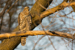 Juvenile Northern Goshawk Royalty Free Stock Image