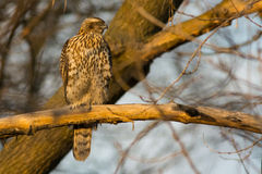 Juvenile Northern Goshawk Royalty Free Stock Photography