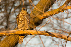Juvenile Northern Goshawk Royalty Free Stock Photo