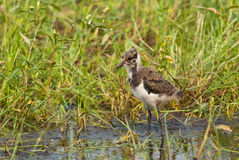 Juvenile Northern Lapwing Royalty Free Stock Photo