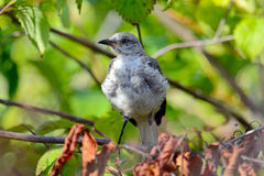 Juvenile Northern Mockingbird Royalty Free Stock Photo