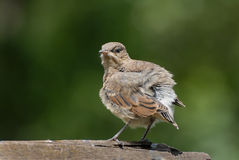Juvenile Northern Wheatear Royalty Free Stock Photos